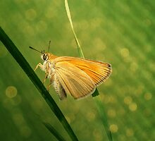 Butterfly by SnezanaPetrovic