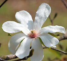 Magnolia Blossom by Cynthia48
