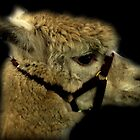 Profile - Alpaca by Evita