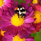 Red-Tailed Bumble Bee by Christina Rollo