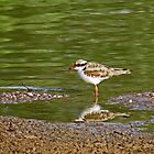 Black-fronted Dotterel 2 by mosaicavenues