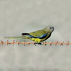 Rock Parrot taken at Tumby Bay in SA by Alwyn Simple