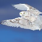 Flight of the Snowy - Snowy Owl by Jim Cumming