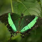 Tropical Butterfly by Adrian McGlynn