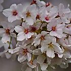 Cherry Blossom '14 by Sue Morgan
