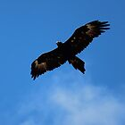 wedge-tailed eagle at FORTH by gaylene
