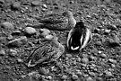 let sleeping ducks lie by dedmanshootn