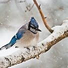 Blue Jay In Spring by Michael Cummings