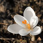 Crocus white by RosiLorz