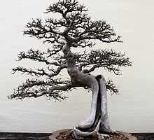 Chinese elm bonsai by Kelly Morris