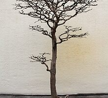 Bald-cypress bonsai by Kelly Morris