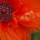 Poppy I by Elly190712