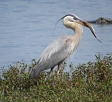 Great Blue Heron with its catch by enyaw