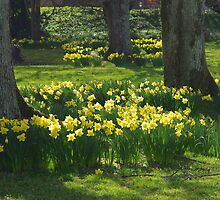 Daffodils at Dartington by lezvee
