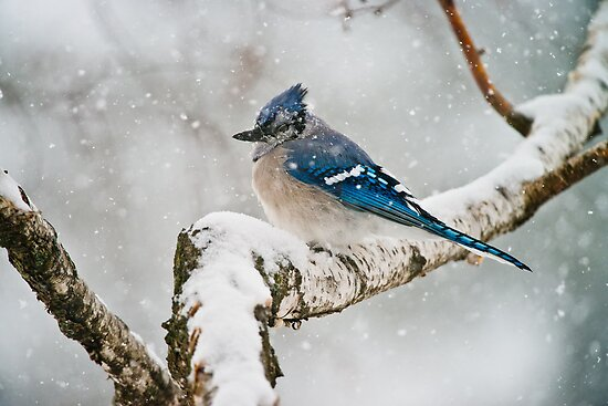 Blue Jay In Spring 3 by Michael Cummings