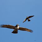 Kestral chasing a Hawk by Dennis Cheeseman