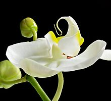 Flamenco Orchid by Mary Lewis