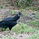 Black Vulture by barnsis