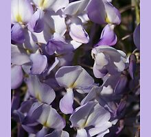 Wisteria Close Up by taiche