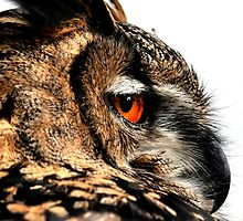 Eagle owl up close by Darren Bailey LRPS