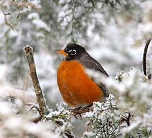 Robin Taking Shelter 1 by NatureGreeting Cards ©ccwri