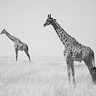 Giraffes on the Masai Mara, Kenya by David Perrin