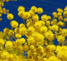 Acacia - Golden Wreath Wattle Flower  by DPalmer