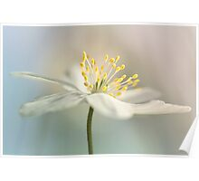 Loveable Wood Anemone... Poster