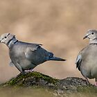 Collared Doves by Margaret S Sweeny