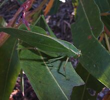 Gum-leaf Katydid on Eucalyptus. by Trish Meyer