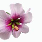 Blossom Beauty by heatherfriedman