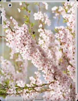 soft spring cherry tree by Janneke Broeksteeg