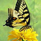 Eastern Tiger Swallowtail Butterfly by Jean Gregory  Evans