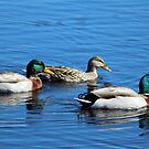 Three Ducks by Cynthia48