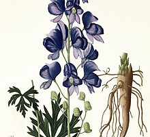 Aconitum Napellus from 'Phytographie Medicale' by Bridgeman Art Library