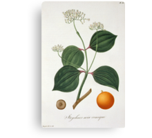 Strychnos nux vomica from 'Phytographie Medicale' Canvas Print