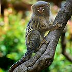 Pygmy Marmoset by Chris  Randall