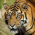 Sumatran Tiger by Chris  Randall