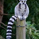 Ring-Tailed Lemur  by Chris  Randall