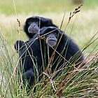 Siamang - Watcha Looking At by Chris  Randall