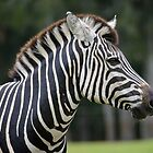 African Plains Zebra by Chris  Randall