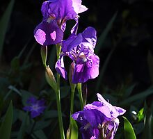 Irises. by Paul Pasco