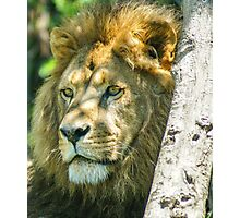 328 king of jungle Photographic Print