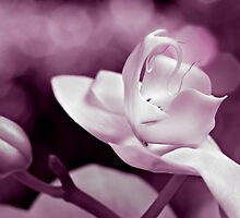 Orchid Bokeh by Mary Ann  Lewis