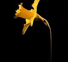 Daffodil by JEZ22