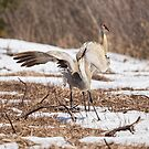 Dancing Crane by Thomas Young