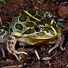 Spotted Marsh Frog -  Werribbee  Vic  by john  Lenagan