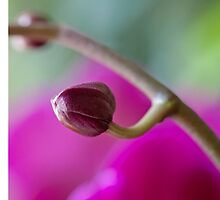Budding Orchid by Mary Ann  Lewis