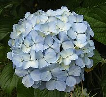 Blue Hydrangea by Trish Meyer