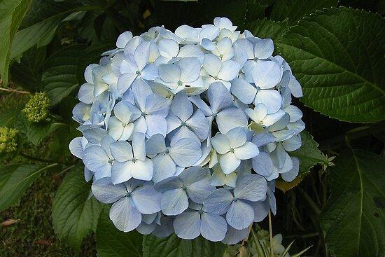 Blue Hydrangea by Trish Meyer